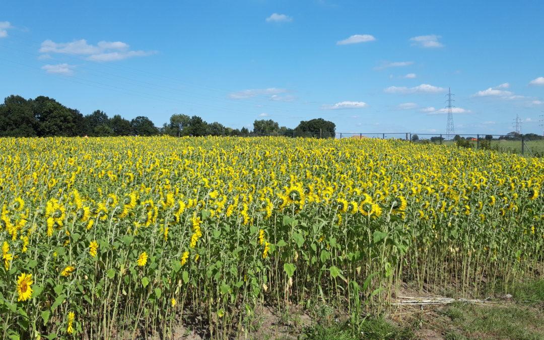 zonnebloemen tuinlei