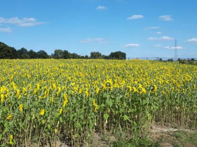 Laatste kans: pluk een zonnebloem in Tuinlei