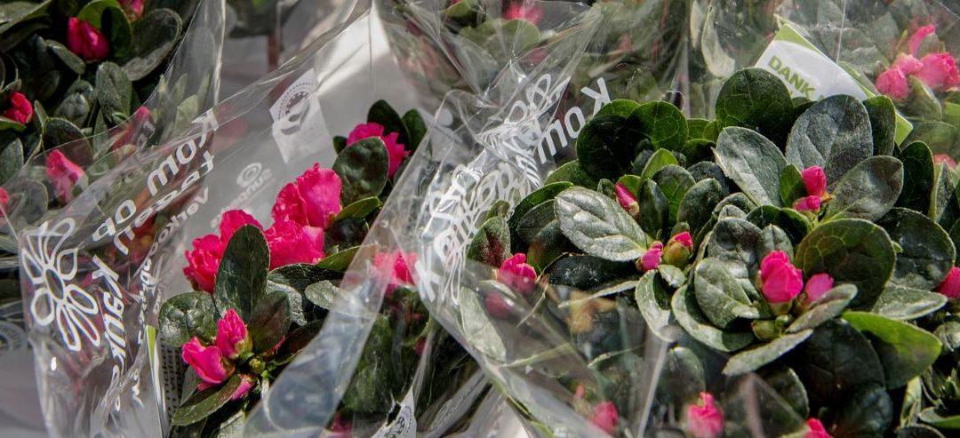 Koop een azalea en steun Kom op tegen Kanker